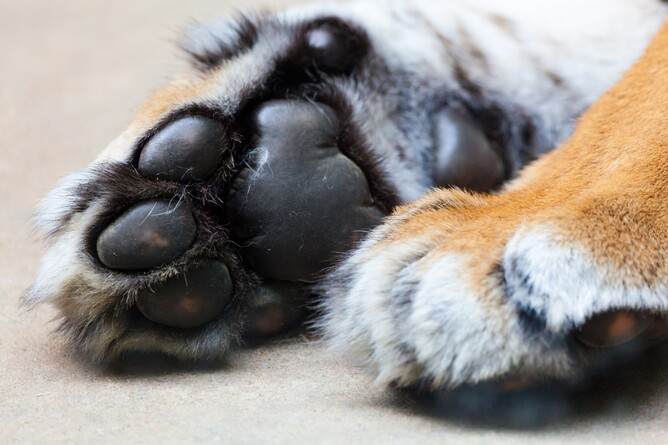Tiger Paws Tiger Therapy